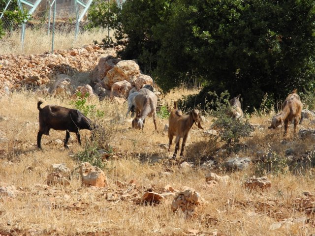 08 Ajloun Castle Trail - Sheep Near the Trail
