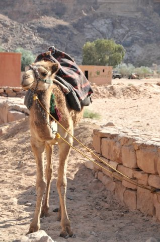 09 Nabatean Temple Trail - A Camel in Wadi Rum Village